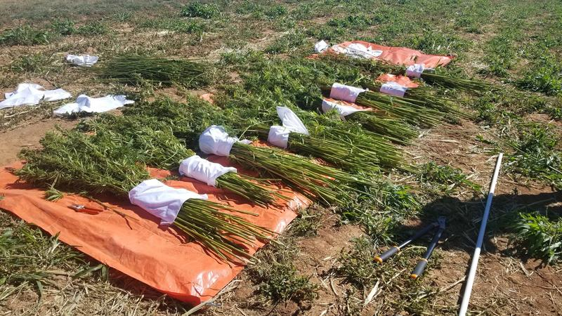 Hemp plot samples gathered for research at the Southwestern Colorado Research Center.