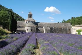 French lavender grows near the Senanque Abbey in Provence, France.