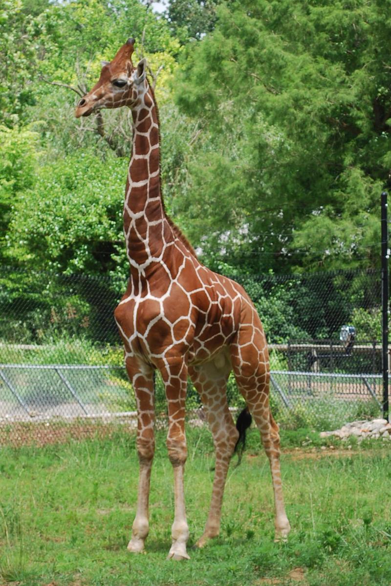 Grady, new bull giraffe at Dickerson Park Zoo