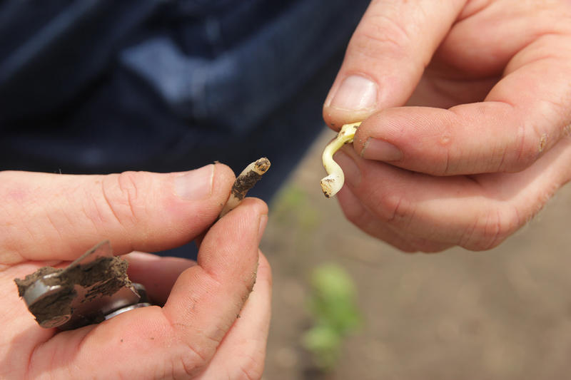 "Plenge's corn is starting to yellow from growing in standing water and his soybeans are rotting in the fields. Here, Plenge holds a seedling with a broken stem, which Plenge refers to as a ""snapped neck."""