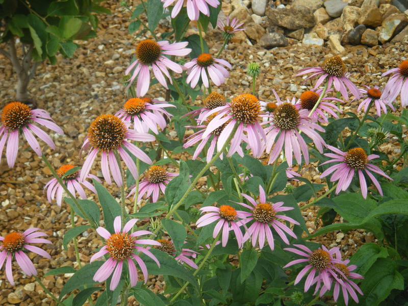 Purple comb flowers are some of the native plants used in the rainwater garden endcaps and bio swale.