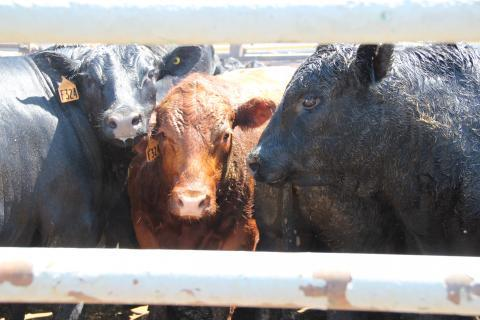 Angus cattle wait in a holding pen outside the Greeley beef plant.