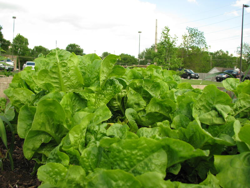 Lettuce at Community Garden at Ray Kelly Park