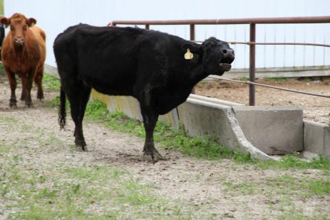 Researchers have measured the acoustics and frequency in cows' moos to understand the behavior each type of communication is associated with.
