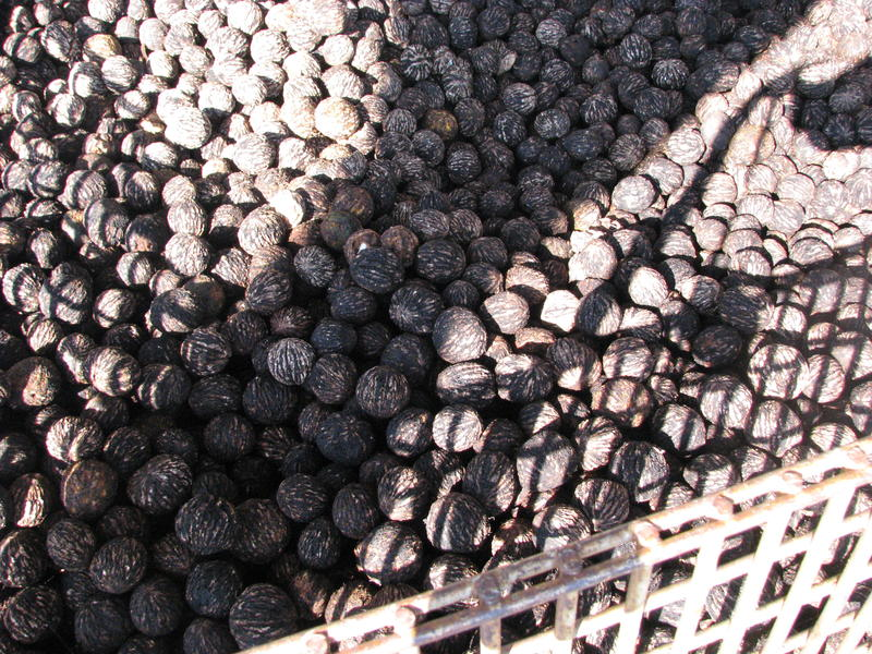 Black Walnut Harvest