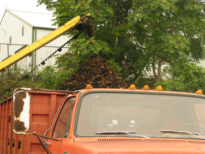 Black Walnut Harvest