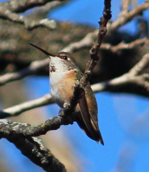 Rufous Hummingbird in North Springfield