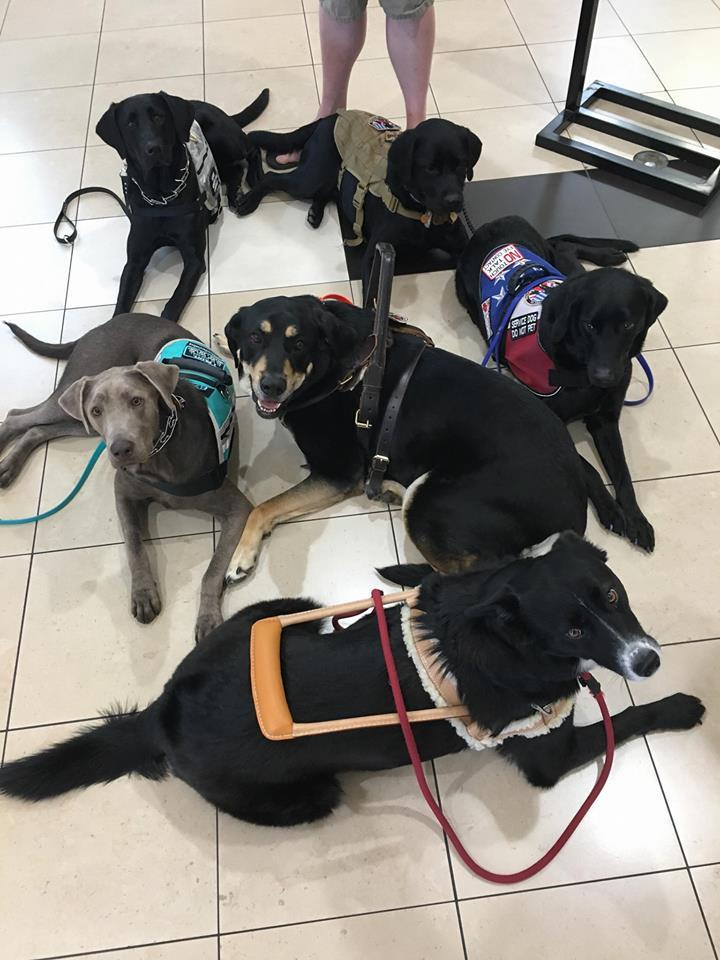 Service Dogs in Training for K9s for Camo