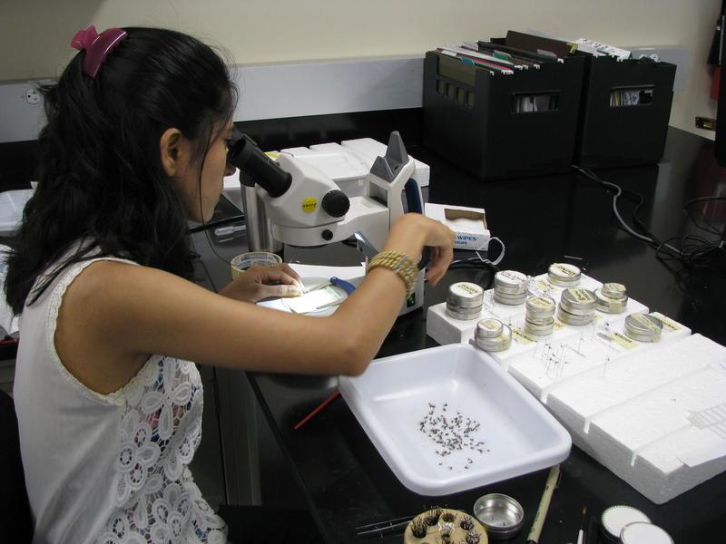 MSU Graduate Student, Sapana Subedi Chowi, Views Mosquitos Under a Microscope