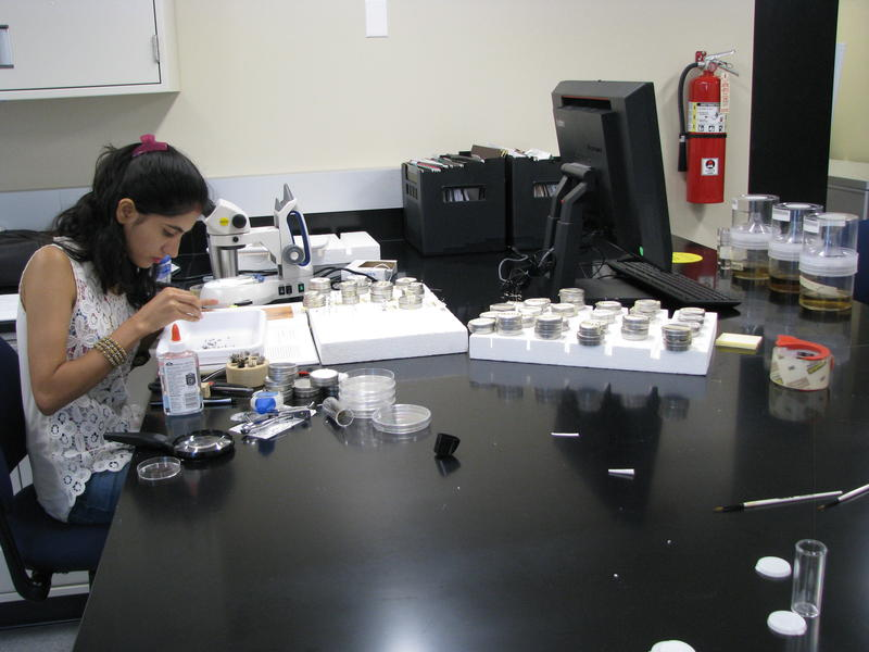 MSU Graduate Student, Sapana Subedi Chowi, Works on the Mosquito Study