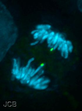 Chromosomes segregate in the process of mitosis.