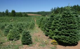 Christmas Tree Farm, Silverton, OR, July 2006.