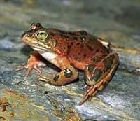 The Oregon spotted frog is no longer found in nearly 80 percent of its historic habitat range