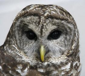 A barred owl rescued after an accident.