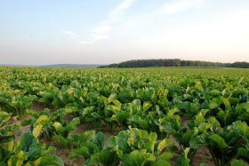 Sugar beets in the field.