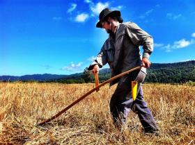 McKinleyville farmer/brewer Jacob Pressey scythes grain for his next batch of beer.