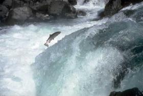 Steelhead jumping a waterfall on the North Umpqua River.