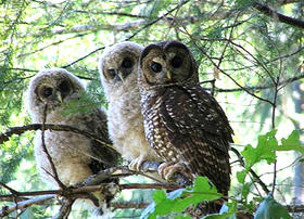 Saving spotted owls is the point of the shooting of some barred owls.