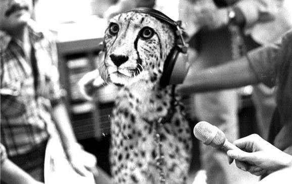 In 1981 Wildlife Safari visited JPR with this unusual and mellow interview subject, a cheetah.  She didn't say much but did manage to purr on the air.