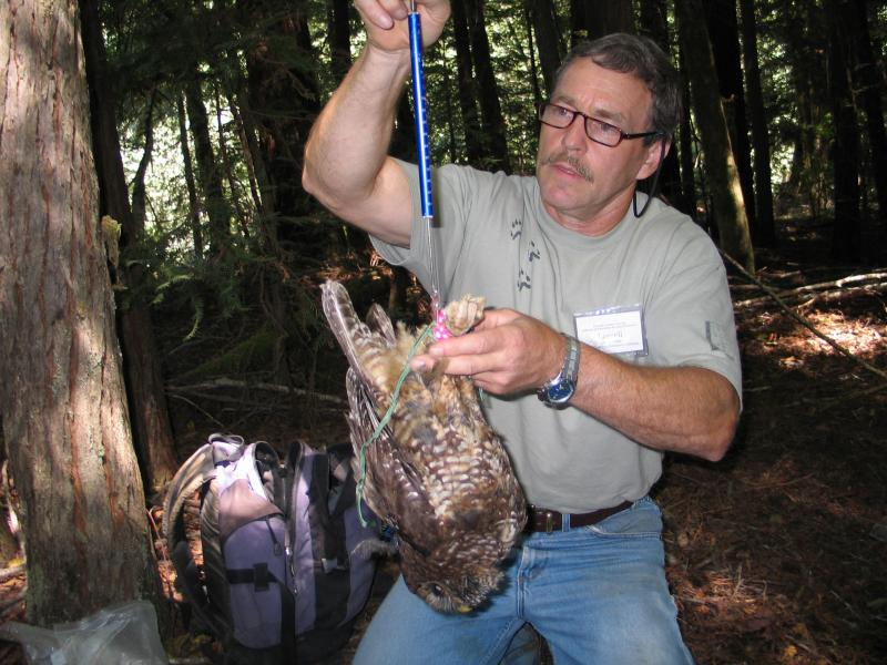 Biologist Lowell Diller weighing a live spotted owl as part of a study in Humboldt County
