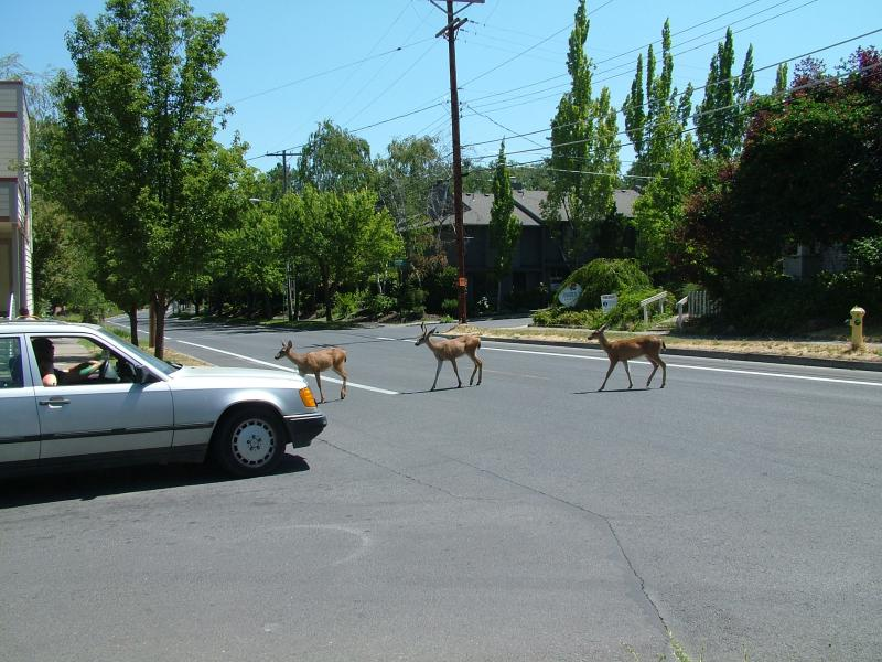 For residents of many towns in southern Oregon, the sight of deer languidly crossing a busy street hatrdly turns a head.