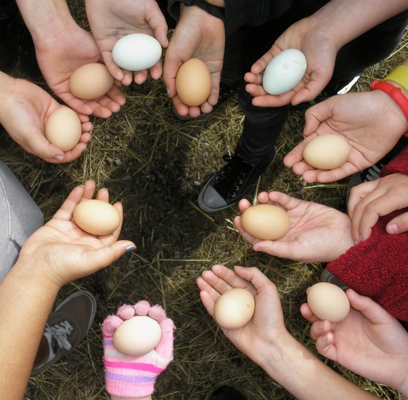 Students gather fresh eggs from happy and truly free-range hens.