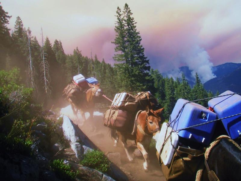 Mule teams transport equipment for crews fighting the Coffee Fire in Trinity County.