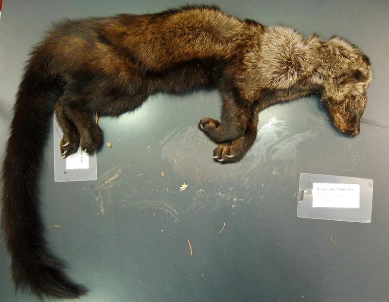 This fisher, brought to UC Davis for a necropsy, was poisoned by anticoagulant rodenticide (rat poison) found on an illegal marijuana grow site in Northern California.