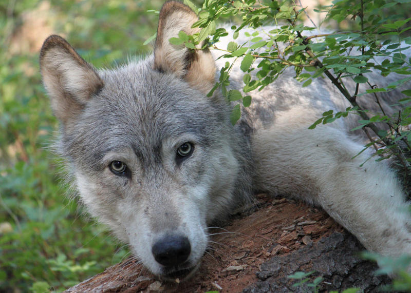 A male wolf from the Wenaha pack was fitted with a radio collar on Aug. 4, 2010.