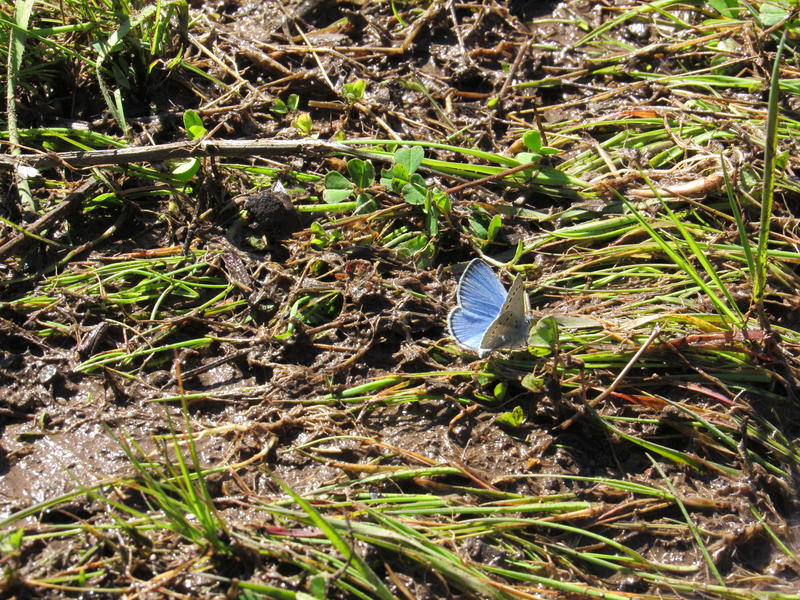 Silvery Blue butterflies stop for a drink at a muddy puddle on the Sampson Creek Preserve.