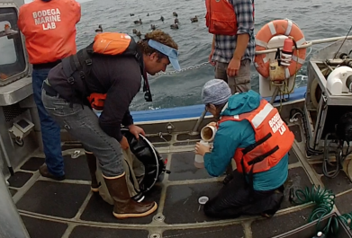 Catherine Davis and colleagues collect foraminifera to bring back for study at the UC Davis Bodega Marine Laboratory.