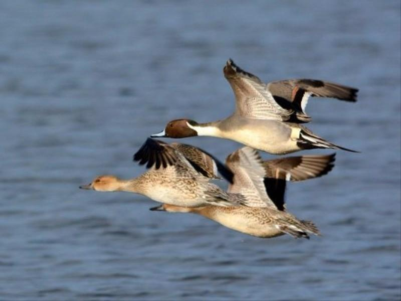 Pintail ducks fly over water at the Basket Slough National Wildlife Refuge on Sunday Dec. 11, 2016.