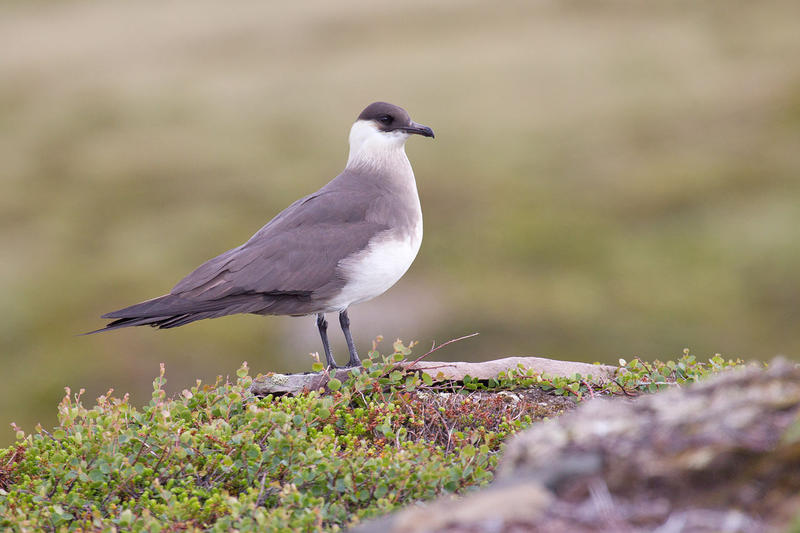 The Parasitic Jaeger is just one of many shorebirds.