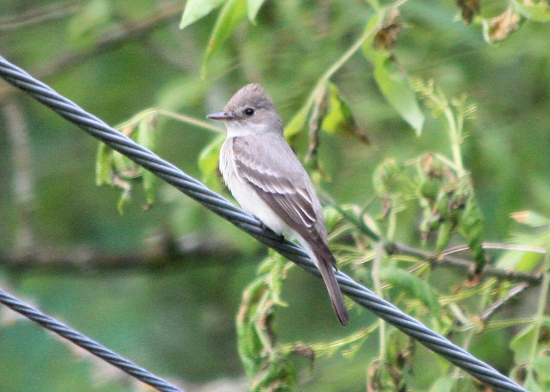 An olive-sided flycatcher.