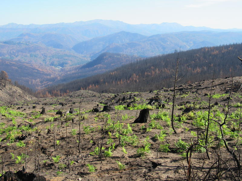Ferns are growing in the charred landscape of a section of the Chetco Bar fire that burned at high intensity, killing nearly all the trees.