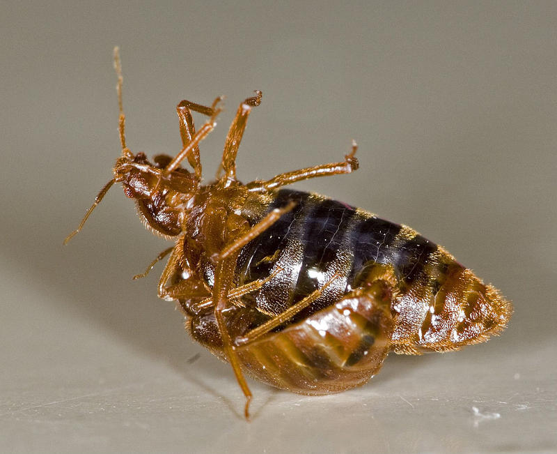 "Bedbugs making new bedbugs.  It's called ""traumatic insemination."""
