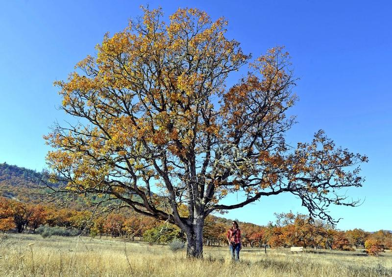 Jamie Stevens walks through an oak savanna at the base of Lower Table Rock in southern Oregon.