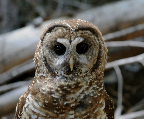 California Spotted Owl.