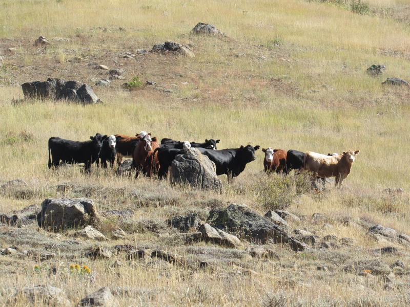 Curious cattle check out the humans in the Silver Fork Basin.