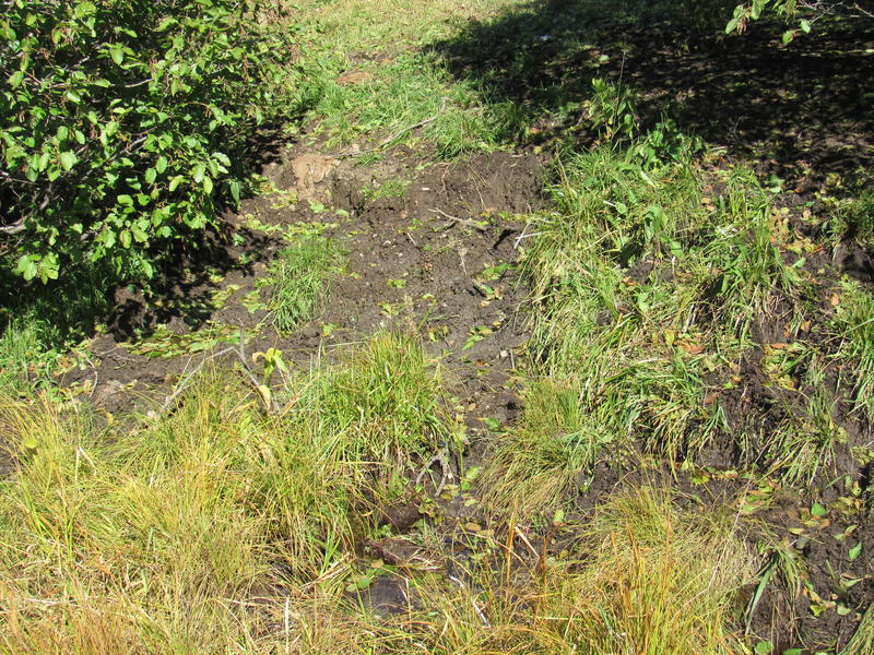 A stream with cattle damage in the Silver Fork Basin.