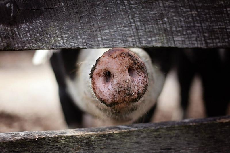 Camas Davis ended up on a hog farm.