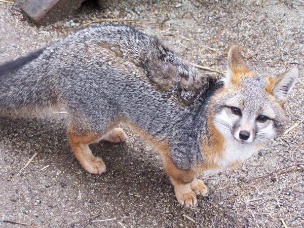 A grey fox at Wildlife Images.
