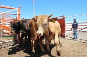 Cattle from Durango, Mexico arrive at Ganadera Chihuahua near Presidio, Texas, July 11, 2013. Citing unspecified threats, USDA banned its inspectors working here in 2012. That ban has now been lifted.