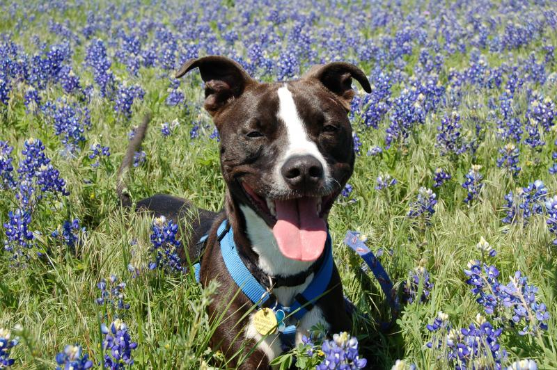 Barker poses for family pictures in a bed of Bluebonnets in Sherman, Tex