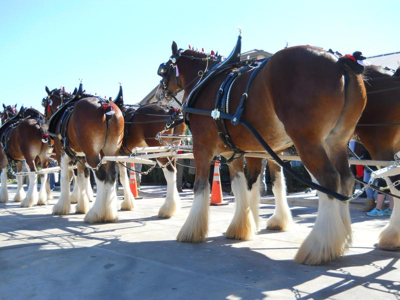 Clydesdales at the Warrior and Family Support Center .