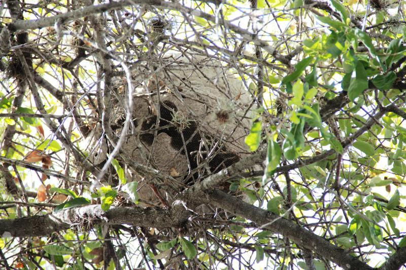 The large paper nests in South Central Texas trees are most likely home to honey wasps.