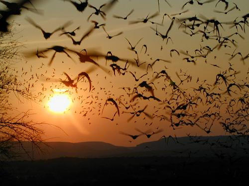 Mexican Freetail Bats fly towards horizon in Round Mountain, TX