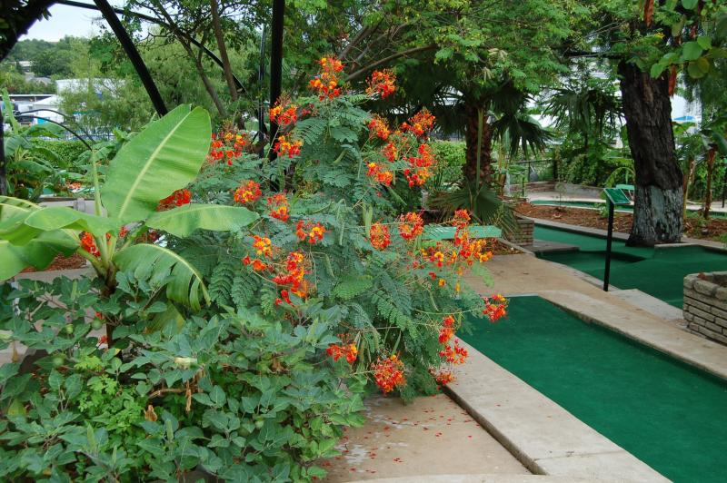 "Pride of Barbados plants can be seen throughout the course because of its ""bold and striking appearance,"" according to Cool Crest horticulturist Frank Decock."