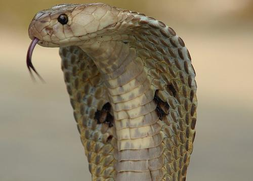 Indian Spectacled Cobra, Naja Naja Family, one of India's venomous snakes.