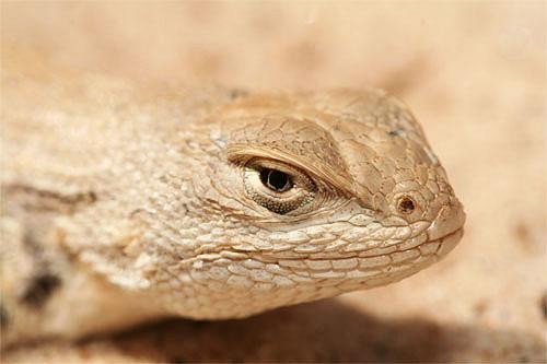 The dunes sagebrush lizard.